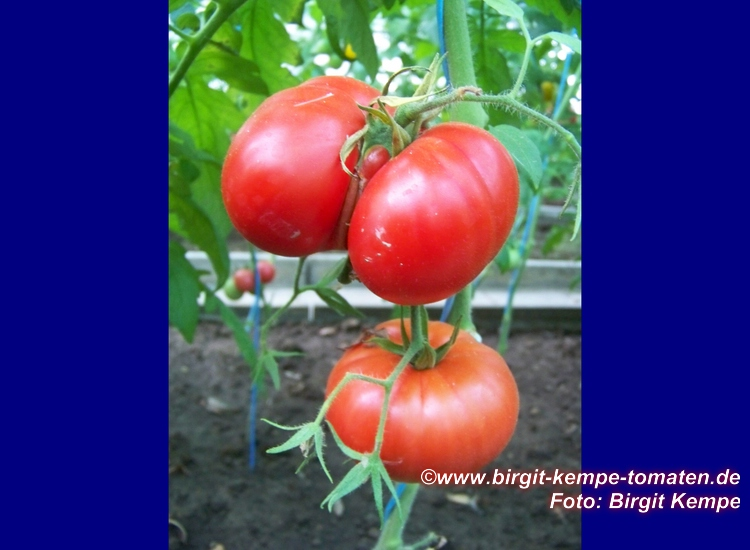 tomaten resistente sorten robuste widerstandsf hige resistente tomatensorten resistente. Black Bedroom Furniture Sets. Home Design Ideas